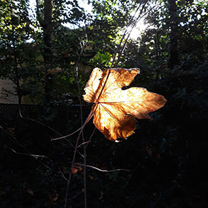 Fall leaf with the sunlight through it